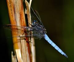 Blaupfeillibelle/blue arrow (Jäger & Sammler) Tags: libelle libellen bluearrow blaupfeil me2youphotographylevel1 libellenarten blaupfeillibelle unlimitedinsectslevel1