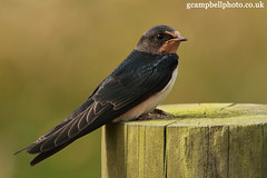 Young Barn Swallow (Hirundo rustica) (gcampbellphoto) Tags: bird nature wildlife barnswallow hirundorustica migrant hirundine irishwildlife gcampbellphotocouk