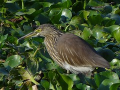 Konch bok / Indian Pond Heron (Non-breeding) / Ardeola grayii (Birds of Bengal by Nabarun Sadhya) Tags: india bird heron nature pond wildlife indian sony cybershot westbengal howrah nonbreeding paddybird ardeola grayii santragachhi hx100v