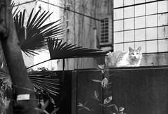Perched (The 10 Thousand Things) Tags: bw wall cat iso100 tokyo minolta delta perch neko delta100 aoyama ilford srt101 rokkor mcrokkor 58mm14