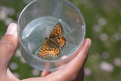 Cascade Butterfly Project 4 by Mount Rainier NPS, on Flickr