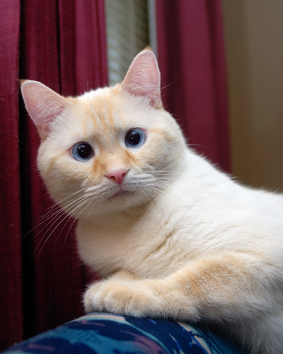 Flame Point Balinese Cat Flame point siamese cat