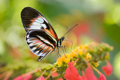 A Vibrant Piano Key Butterfly (Bob Decker) Tags: macrolife