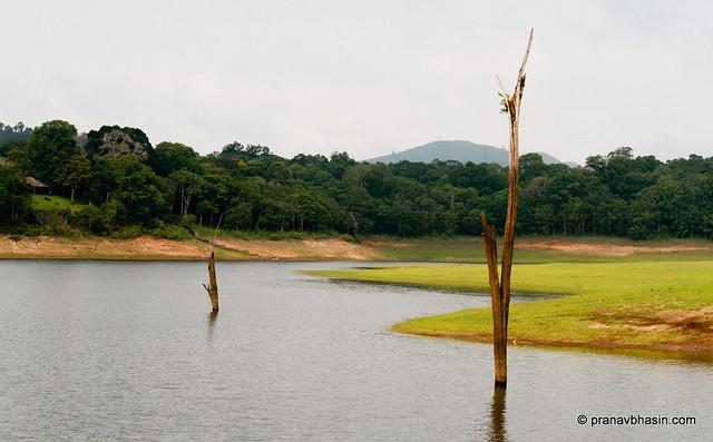 Stumps In Water At Periyar Tiger Reserve, Thekkady, Kerala