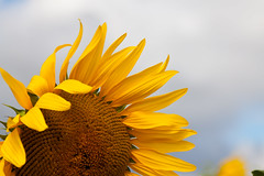 Sunshine on a rainy day (Helen Flynn) Tags: canon d sunflowers 50 hertfordshire select hitchinlavender cadwellfarm
