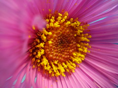 Sept2012 231 Aster (monica_meeneghan) Tags: autumn flower excellent worldflowers