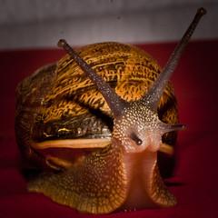 sUBE... qUE tE LLeVOOOOOOO!!!!!! (Hansis y Greta) Tags: animal live snail vida caracol sonydsc ltytr1 goldcruzadas