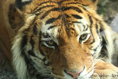 Gli occhi della tigre (sarbyn) Tags: eye tiger occhi tigre