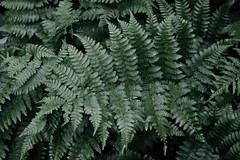 ferns (Boganeer) Tags: plant green nature canon ferns xti canonxti