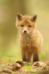neugierig (bobby3101985) Tags: fox wald fuchs jungfuchs