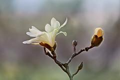 White Magnolia (lfeng1014) Tags: macro closeup spring dof bokeh depthoffield macrophotography whitemagnolia lifeng  canon5dmarkiii 70200mmf28lisii