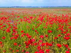Poppy field (Sergiu St. O.) Tags: romania poppyfield prahovacounty