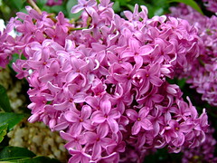 Syringa vulgaris (yewchan) Tags: flowers flower nature colors beautiful beauty closeup garden flora colours gardening vibrant blossoms lilac blooms lovely syringa syringavulgaris commonlilac