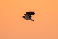 Lapwing at Sunset (deltic17) Tags: sunset bird evening dusk flight lapwing