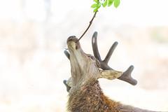 Tree Eating Deer 4 (Vinny Burns) Tags: england canon eos unitedkingdom deer gb 2016 ticknall calkeabbey ef400mmf56lusm 5dmkiii 5dmk3 5d3 5dmarkiii vinnyburns