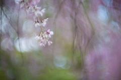 forbidden city (Lamson Noswen (c'lamson)) Tags: pink macro spring bokeh blossoms forbidden cherryblossoms lamson