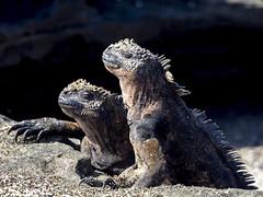 Marine iguana             (no: marin iguaana) (olavagnar) Tags: island islands ecuador do pacific darwin olympus galapagos charlesdarwin pacificocean iguana to equator archipelago marineiguana 2016 galpagos galapagosislands cristatus galpagosislands archipilagodecoln islasgalpagos amblyrhynchus galpagosnationalpark galpagosmarinereserve
