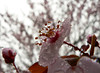 rainy day (The Julia) Tags: pink flowers macro rain garden petals plum raindrops sakura floweringplum macroflowerlovers