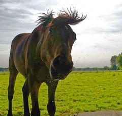 Mustangs - 2016-0024_Web (berni.radke) Tags: horses horse mustang pferde pferd mustangs