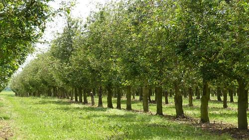 Kirschbäume bei Hahnheim