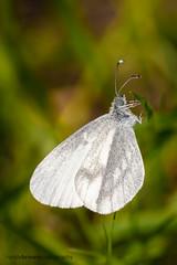 Wood White (ABPhotosUK (Thanks for 600 followers)) Tags: macro animals canon wildlife butterflies lepidoptera devon endangered invertebrates pieridae devonwildlifetrust woodwhite leptideasinapis ef25mmextensiontube meethquarry eos7dmarkii ef100400mmisii
