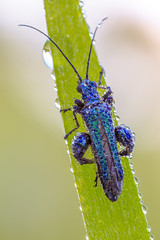 Blue Jewel II (Siegfried Tremel) Tags: nature insect naturallight makro canonmpe65mm focusstack canoneos6d zerenestacker novoflexcastelq newportlinearstage