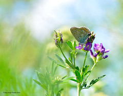 Bleu commun d'Europe / Common Blue (anjoudiscus) Tags: canada nature butterfly juin montral lepidoptera papillon qubec d800 commonblue polyommatusicarus micronikkor105mm 2016 lpidoptre boulgouin roseange bleucommundeurope