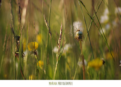 #35 (Les photographies de Marina) Tags: france flower nature fleur pentax printemps champ hauteloire youngsphotographers projet365 jeunephotographe pentaxkr
