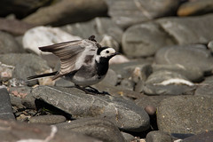 Pied wagtail (jon lees - busy) Tags: bird beach wings posing foreshore piedwagtail foraging