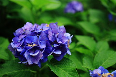 IMG_4512 ((c) Ryo) Tags: canon 5d yokohama flower
