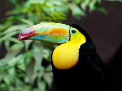 Toucan (Rmi_M.) Tags: bird toucan oiseau couleur