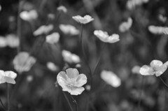 (nuriapase) Tags: summer camp blackandwhite white black flower primavera blancoynegro nature fleur field grey gris spring verano campo blanc negre estiu monocrome