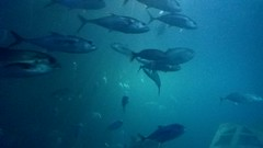Plymouth Aquarium - Predators Tank 4 (jack_lanc) Tags: plymouth acquarium wildlife fish sharks conservation marine biology devon predator predators