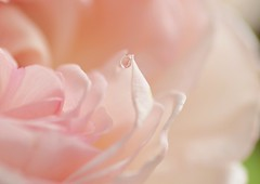 tear of joy (marionetteMay) Tags: birthday pink flower rose present