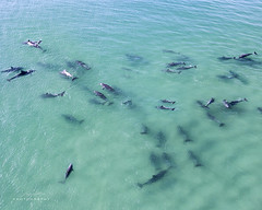 Dolphin Chasing (Jay Daley) Tags: australia aerial dolphins nsw forster drone dji inspireone prox5