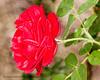 B36C6347 (WolfeMcKeel) Tags: park new city vacation flower macro nature rose gardens garden mexico botanical spring high flora downtown desert landscaping albuquerque flowering 2016