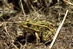 Green Frog (BenG94) Tags: green wisconsin canon frog greenfrog northwoods arborvitae 60d canon60d bigarborvitaelake
