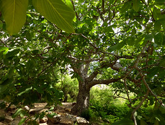 Juglans regia L. 1753 (JUGLANDACEAE) (helicongus) Tags: spain juglans juglandaceae juglansregia jardnbotnicodeiturraran