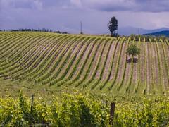 CRW_7510-1 (03TTAM) Tags: landscape toscana paesaggi vigna filari viafrancigena