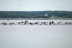 Usedom, Halbinsel Gnitz: Kormorane jagen in der Nhe des Mwenorts - Cormorants chasing fish at the Achterwasser lagoon (riesebusch) Tags: usedom halbinselgnitz