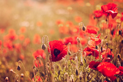 Simply Poppies [EXPLORE 21-06-16] (~g@ry~ (clevedon-clarks)) Tags: flowers red summer field soft bokeh poppy poppies wildflowers ww1 earlysummer fifty nifty 50mmf18 summerflowers poppyfield
