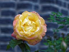 Soleil de juin - Sun of june (p.franche) Tags: brussels flower macro nature fleur rose closeup jaune garden europe belgium belgique bruxelles panasonic dxo brussel hdr schaarbeek schaerbeek belge colseup flickrelite fz200 pascalfranche pfranche