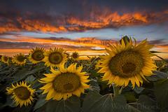 Monday's Sunset in Davis (Wayne Tilcock) Tags: california sunset sky flower yellow clouds landscape nikon ag sunflower agriculture davis yolo 1424 d810 waynetilcock