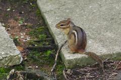 I Want More (Imagination04) Tags: animal fur ed rodent illinois pentax il f45 300mm chipmunk f if smc arrowhead sciuridae smcpentaxf300mmf45edif