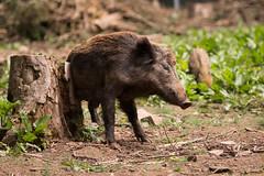 Wild boar (Cloudtail the Snow Leopard) Tags: wild animal mammal pig boar schwein sus tier pforzheim wildschwein wildpark ferkel sugetier scrofa