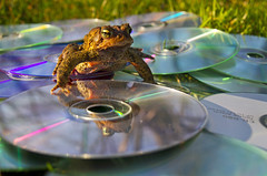 Mr. Toad Sez... (Matt Champlin) Tags: sun cute nature animals trash canon spring garbage funny technology tech lol cd sunny frog plastic toad recycle recycling 2012 froggie mrtoad toadie skaneateles americantoad bufoamericanus oldcds olddvds toadish discardedcds recycleyourcds mrtoadsays plasticnumber7