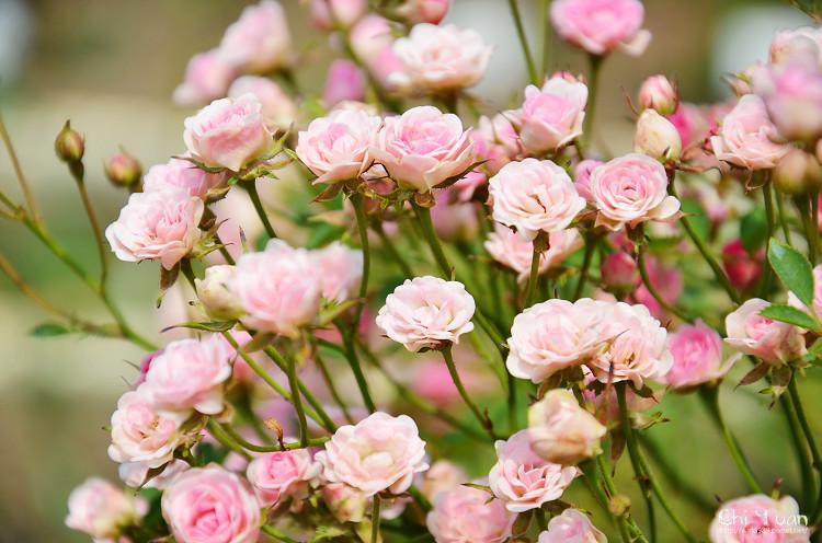 玫瑰園。迷你薰衣草01.jpg