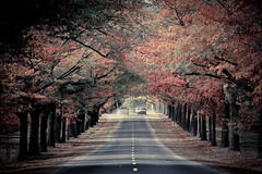 Autumn avenue (kth517) Tags: autumn australia victoria 澳洲 macedon 秋景 honouravenue 維多利亞州 oakpine
