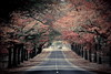 Autumn avenue (kth517) Tags: autumn australia victoria 澳洲 macedon 秋景 honouravenue 維多利亞州 oakpine