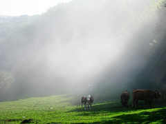 Cows & Light (Riccardo Davico) Tags: light nature cows natura prato
